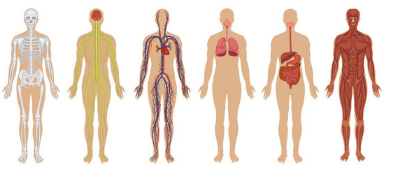 Body Systems And Major Organs Electricalvoice