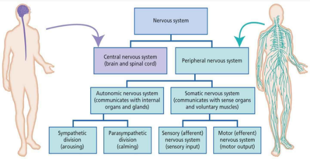 Nervous system and its parts functions electricalvoice nervous system block diagram ccuart Choice Image